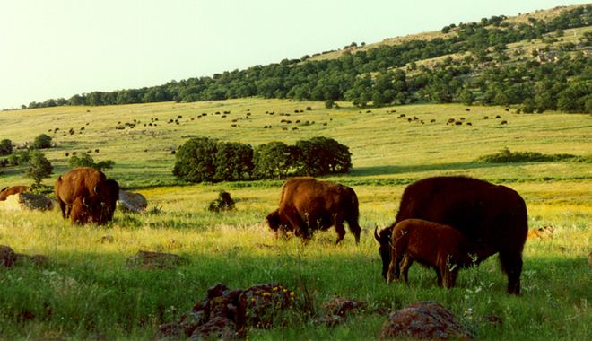 Bison at Wichita Mountains