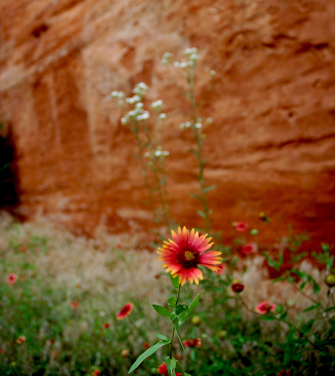 Canyon wall and Gaillardia flower