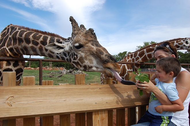 Feeding giraffes at the zoo
